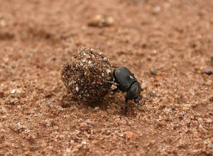 dung beetle and fecal transplants