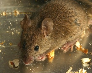 mouse studies for gut bacteria